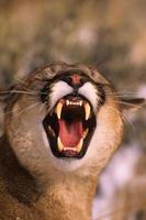 leone di montagna agitato