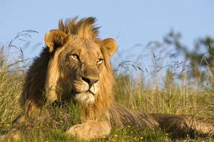 primo piano del leone maschio in habitat naturale