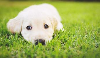 cucciolo di golden retriever foto