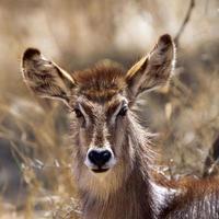 waterbuck nel parco nazionale di Kruger foto