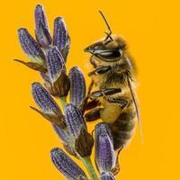 ape da miele che foraggia su una lavanda