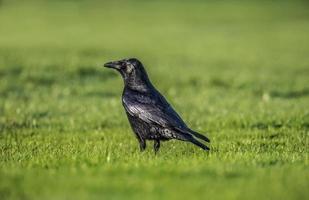 corvo sull'erba