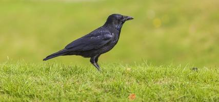 corvo nero su erba verde
