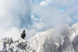 Gracchio alpino seduto su una roccia foto