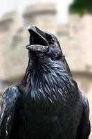 corvo nero reale, torre di londra - regno unito foto