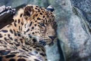 leopardo di Amur che riposa sulla roccia foto