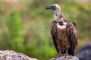 primo piano di un avvoltoio dal dorso bianco appollaiato foto