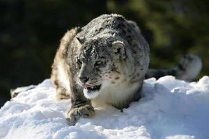leopardo delle nevi che stawking preda foto