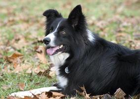 cane da pastore bella sheltie vicino. foto