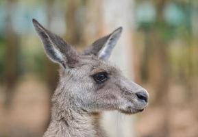 stretta di un canguro grigio foto