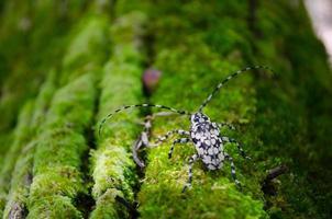 scarabeo su muschio