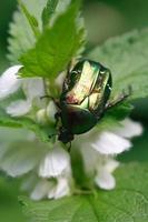 scarabeo su foglia