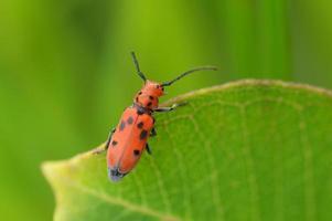 scarabeo in macro