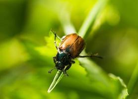 scarabeo su un'erba foto