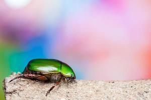 scarabeo verde foto
