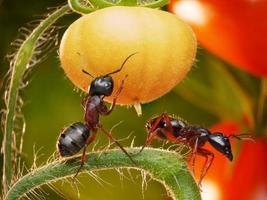 formiche nelle giungle di pomodoro foto
