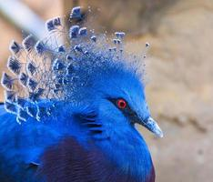 victoria incoronato piccione o goura victoria foto