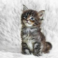 piccolo gattino di procione lavatore grigio della Maine sulla pelliccia bianca del fondo foto