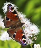 """farfalla """"occhio di pavone""""."""