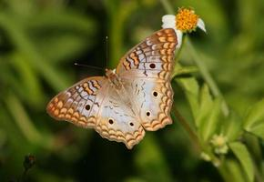 bellissima farfalla di pavone bianca