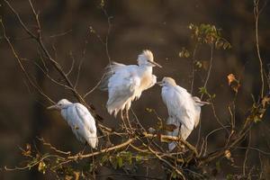 Airone guardabuoi nel parco nazionale di Kruger foto
