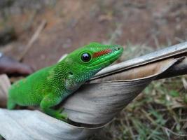 geco di giorno del Madagascar