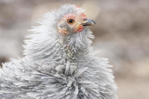 pollo crespo foto