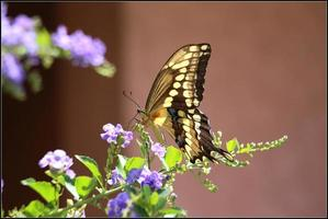 farfalla gigante di coda forcuta foto