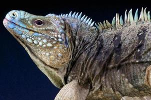 blue rock iguana / cyclura lewesi foto