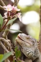 lucertola iguana arrampicata su un albero in natura