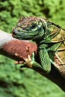ritratto di iguana verde