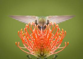 ronzio uccello foto