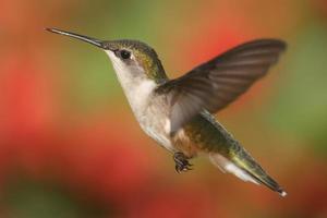 colibrì dalla gola color rubino in volo