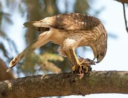 falco di Cooper foto