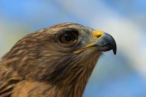occhio di Falco