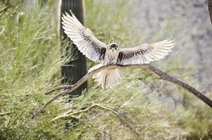 falco ferruginoso