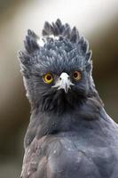 aquila di falco tiranno nero foto