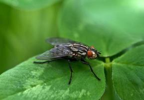 mosca dell'insetto foto