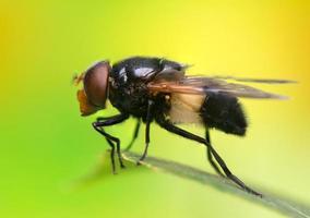 volare insetto