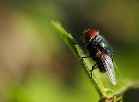 primo piano a una mosca foto