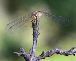 libellula del primo piano foto