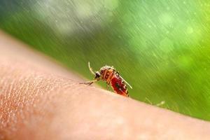 primo piano di una zanzara che succhia sangue