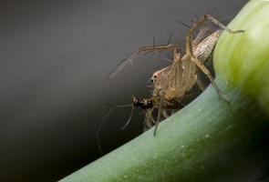 il ragno lince sta facendo colazione foto