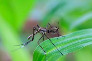 zanzara su foglia verde foto