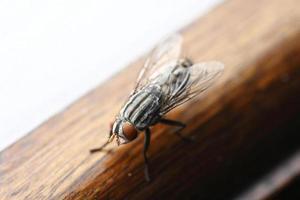 primo piano della mosca