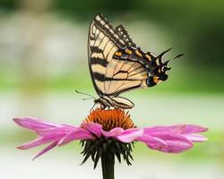 coda di rondine di tigre su coneflower iii foto