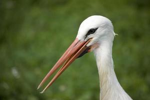 cicogna bianca foto