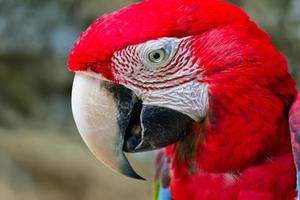 macaw rosso foto
