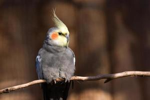 primo piano dell'uccello del cockatiel che si siede su una filiale foto