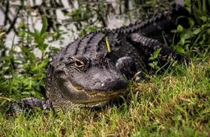 alligatore sulle rive foto